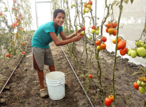 Organic tomato production at NPH Mexico